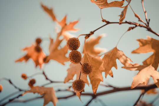 Brown color plane tree leaves and fruits isolated on sky background