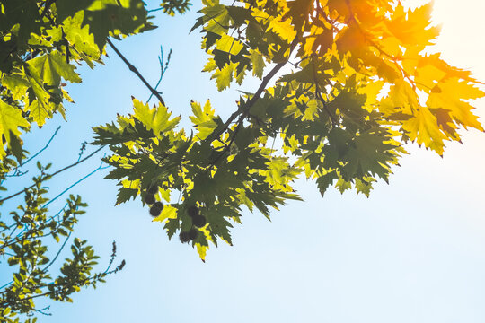Green plane tree leaves on tree branches with sunshine