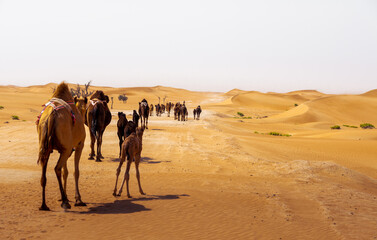 camel group, caravan, traveling though the desert, during the day, exposed to the heat and arid environment