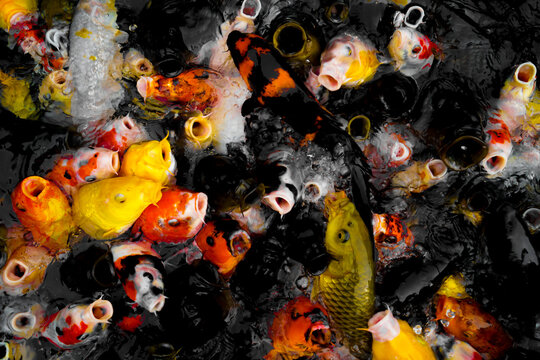 大量の色とりどりの鯉