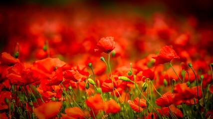 poppy flowers in the field