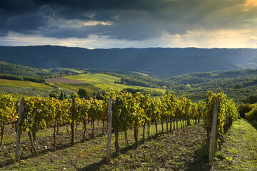 beautiful yellow rows of vineyards in autumn at sunset. Chianti Classico Area near Panzano in Chianti (Florence). Italy.