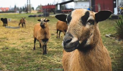 Obraz Dwie bliźniacze kozy na tle wsi. - fototapety do salonu