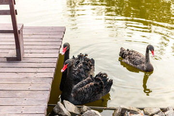 Beautiful black swans swim along the banks of a small river