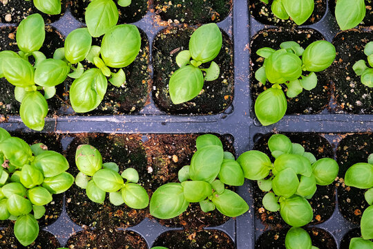 Tiny basil plants growing in seed starter pots