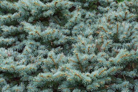 Blue Spruce (Picea pungens 'Glauca Globosa'). Called Colorado spruce and Blue globe colorado spruce also