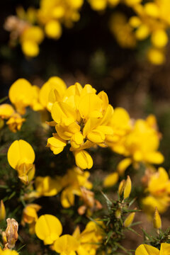 Whether you know it as Gorse, Furze or Whin, this must be our most remarkable native shrub. Throughout the year, the rich yellow peaflowers seem to light up the Irish landscape