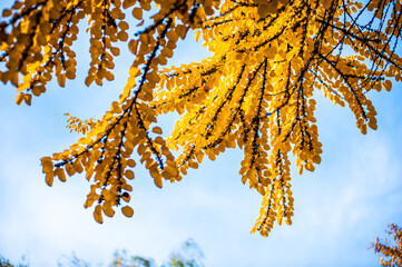 Background of yellow autumn leaves on a tree