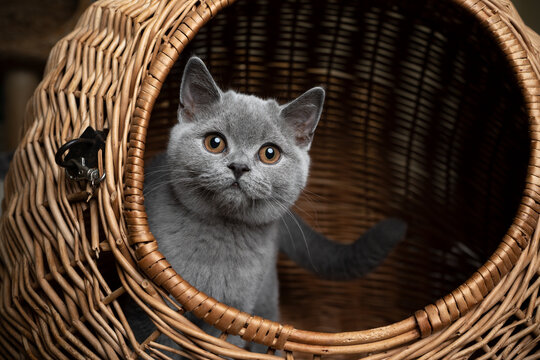 curious blue gray british shorthair kitten resting inside of basket cat carrier looking out at camera