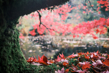 Japanese red maple tree reflected in an ornamental pond in autumn