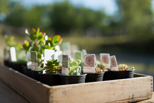 Tiny succulent plants with labels in sunny tray at plant nursery