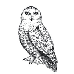 Snowy owl sketch, pen and ink bird isolated on white background. Vintage vector illustration.