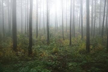 Dark atmospheric landscape of the evergreen forest in a fog at sunrise. Ancient pine trees, green and golden plants close-up. Ecology, seasons, autumn, ecotourism, environmental conservation. Europe Fotobehang