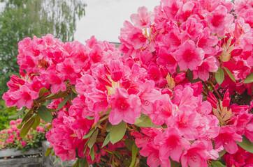 赤いツツジの花
