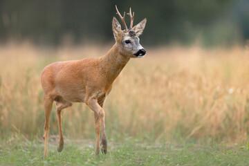 Roe deer photographed in Poland. Bujny Szlacheckie