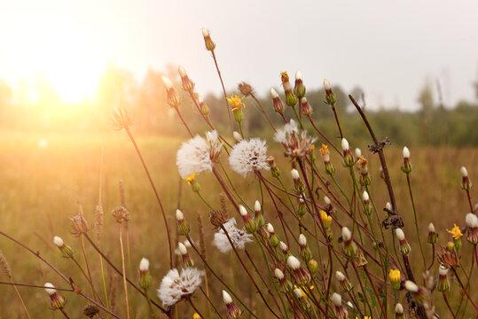 Fluffy dry autumn flowers in a field in early morning in sunlight.