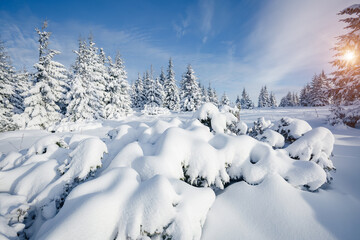 Wall Mural - Attractive image of white spruces on a frosty day. Location place Carpathian ski resort, Ukraine.