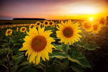 Wall Mural - Vivid yellow sunflowers glow in the evening. Blooming field closeup.
