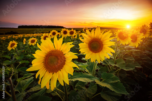 Wall mural Vivid yellow sunflowers glow in the evening. Blooming field closeup.