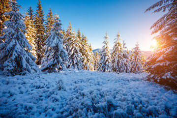 Wall Mural - Incredible wintry wallpapers. Frosty day in snowy coniferous forest.