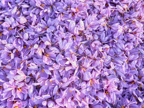 Selective focus background of a freshly peeled saffron roses mantle, typical traditional crop of La Mancha region, La Solana town, Ciudad Real province, Castilla la Mancha, Spain