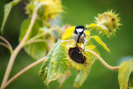Kohlmeise auf Sonnenblume im Garten