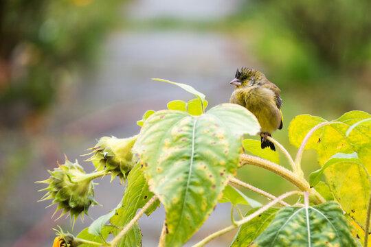 Grünfink im Herbst Garten Vogel