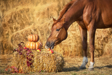 Red horse portrait with autumn harvest pumpkins