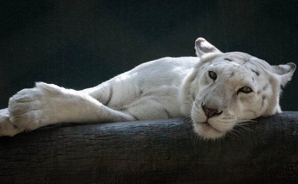 white lion laying down