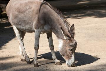 donkey (In german Hausesel) Equus asinus asinus