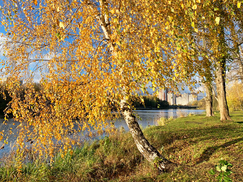 Birch with yellow leaves on the bank of Pekhorka river. Moscow region, city of Balashikha, Russia