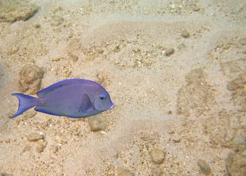 Closeup of a Atlantic Blue Tang Surgeonfish near the sandy bottom of the ocean, underwater snorkeling image