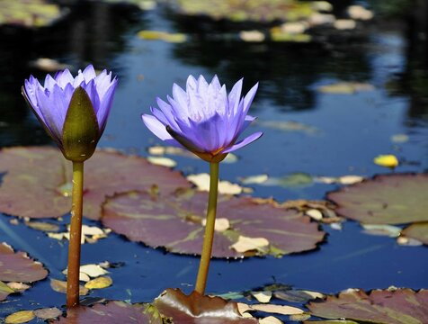 Two purple waterlily with long stems in full bloom with burgundy lily pads at the pond