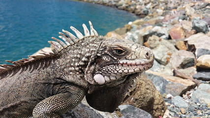 iguana on the rock Wall mural