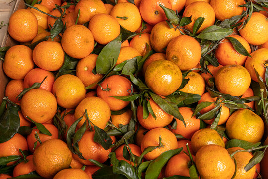 Lots of Corsican clementine for sale