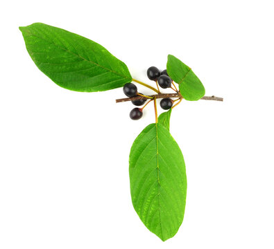 Frangula Medicinal Plant Fruit and Leaves. Also known as Alder, Glossy or Breaking Buckthorn. Isolated on White Background.