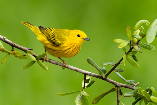 Yellow Warbler, Setophaga aestiva