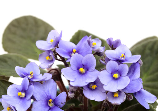 Blue african violet isolated on white background