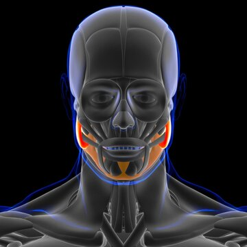 Masseter Superficial Muscle Anatomy For Medical Concept 3D