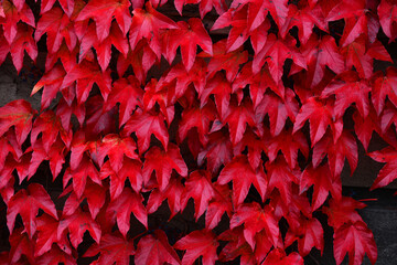 Red leaves close-up, plant background, autumn