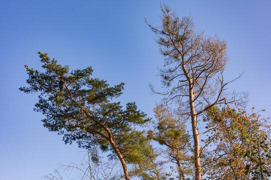 In einem deutschen Mischwald im Herbst zeigt sich der Klimawandel mit kranken Bäumen durch Dürre und Insekten