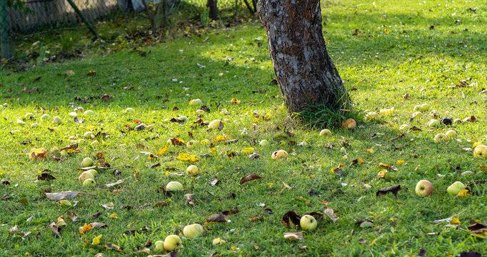 autumn in the garden, fallen apples on the ground