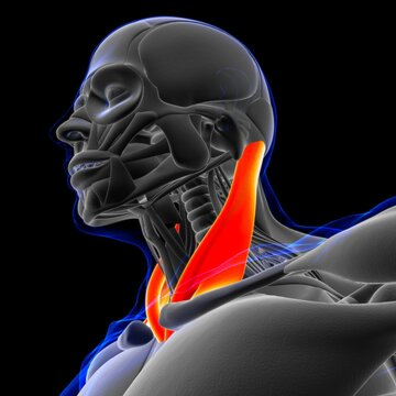 Sternocleidomastoid Muscle Anatomy For Medical Concept 3D