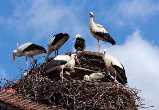 Störche im Nest vor blauem Himmel
