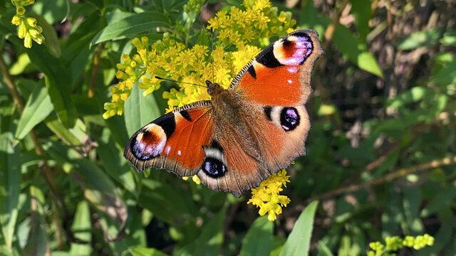 Schmetterling Kleiner Fuchs auf Blume
