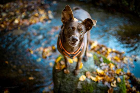 Brauner Hund mit gelben Augen und Knickohr auf Feldstein in einem Bach im Herbst, schaut nach oben
