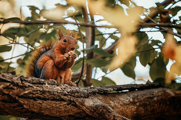 A squirrel is sitting on a tree eating an acorn