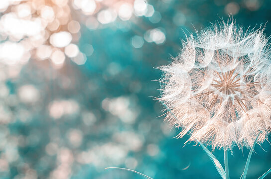 a large white dandelion on a blurry background with bokeh. place to write text