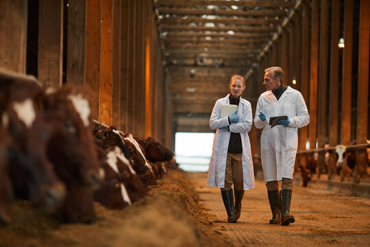 Full length portrait of two veterinarians in cow shed walking towards camera while inspecting livestock at farm, copy space