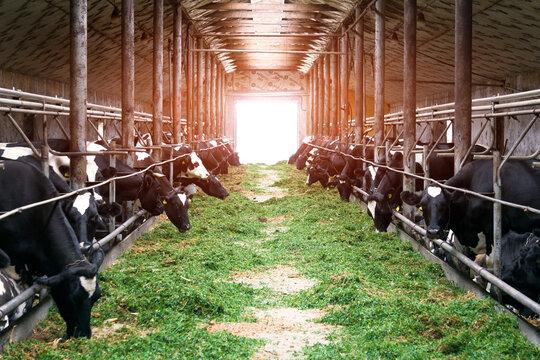 Cows on a dairy farm eat fresh green grass